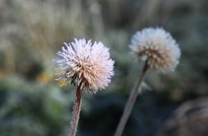Frosne blomster